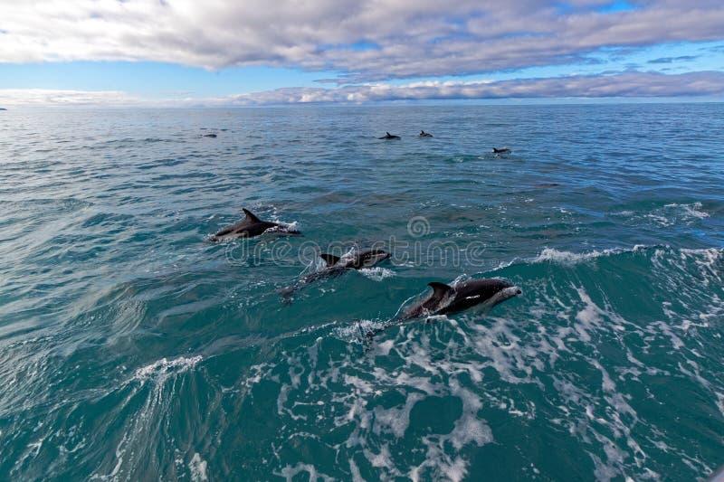 Delfin Kaikoura, Nya Zeeland fotografering för bildbyråer