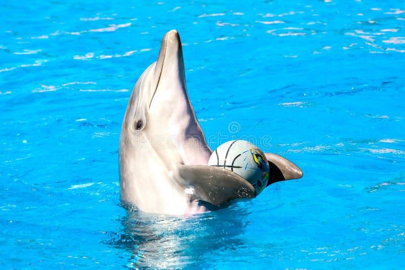 Delfin med en boll i pölen arkivfoton