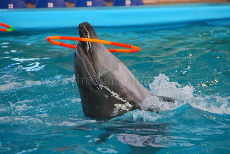 Delfin och cirkel royaltyfria bilder