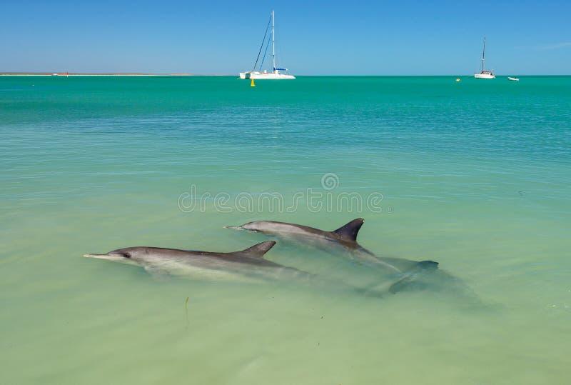Delfin och fartyg - apa Mia arkivbild