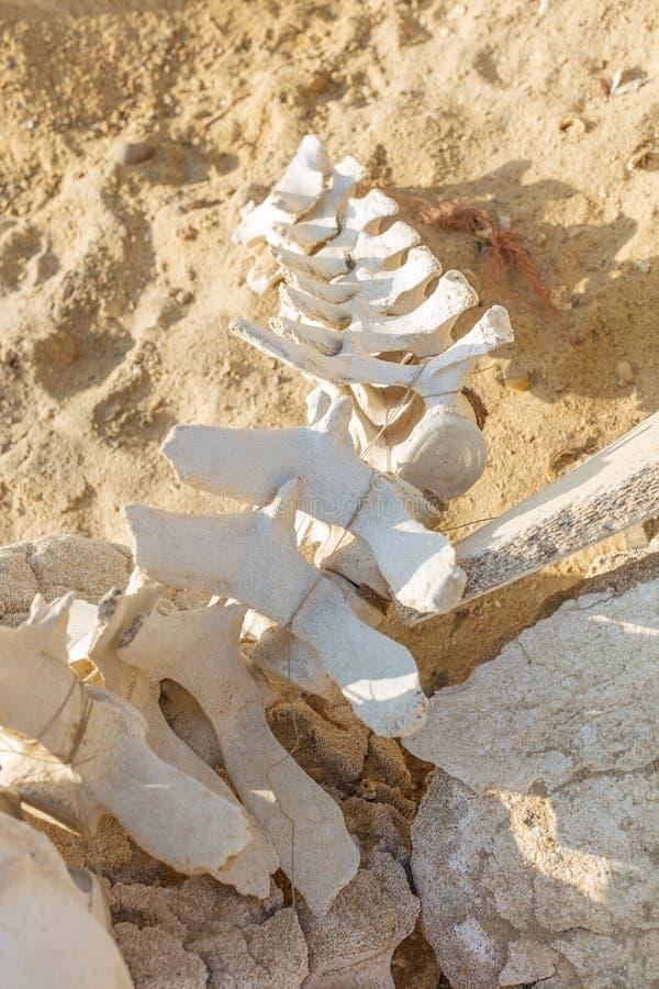 Delfin- och valben på ökenstranden av Namibe _ royaltyfria foton