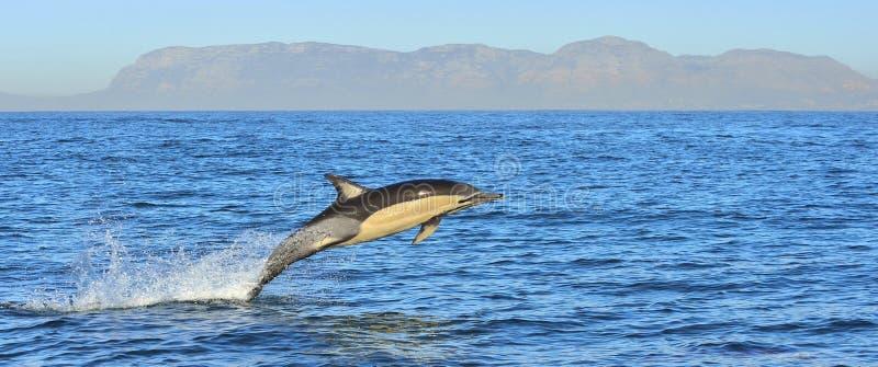 Delfin, pływa w oceanie obraz stock