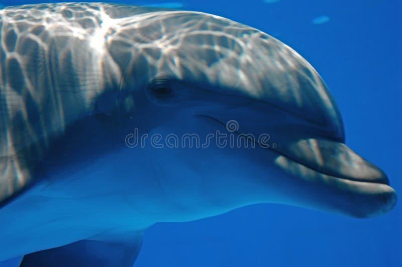 Delfin patrzeje kamerę zdjęcia royalty free