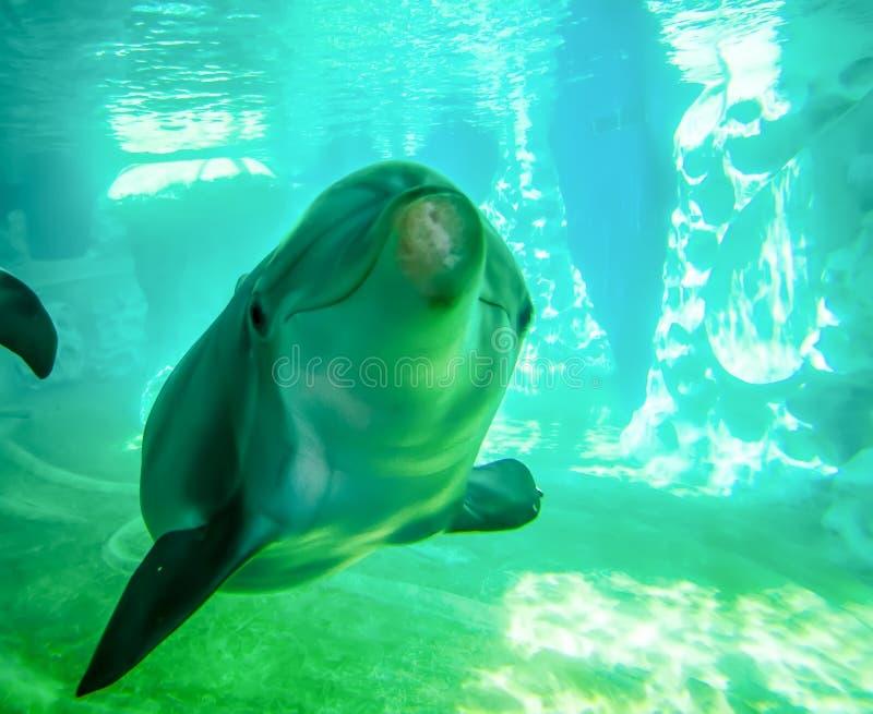 Delfin pozuje dla kamery podwodnej fotografia royalty free