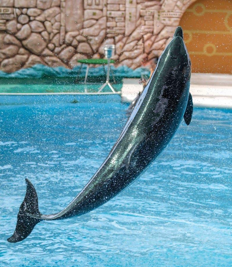 Delfin skacze od basenu w parku zdjęcia royalty free
