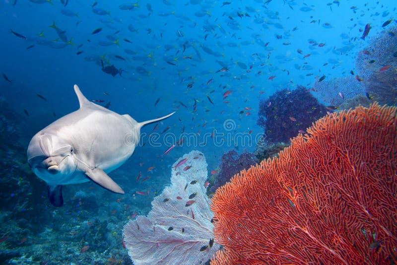 Delfin som är undervattens- på övre blick för revslut arkivfoton
