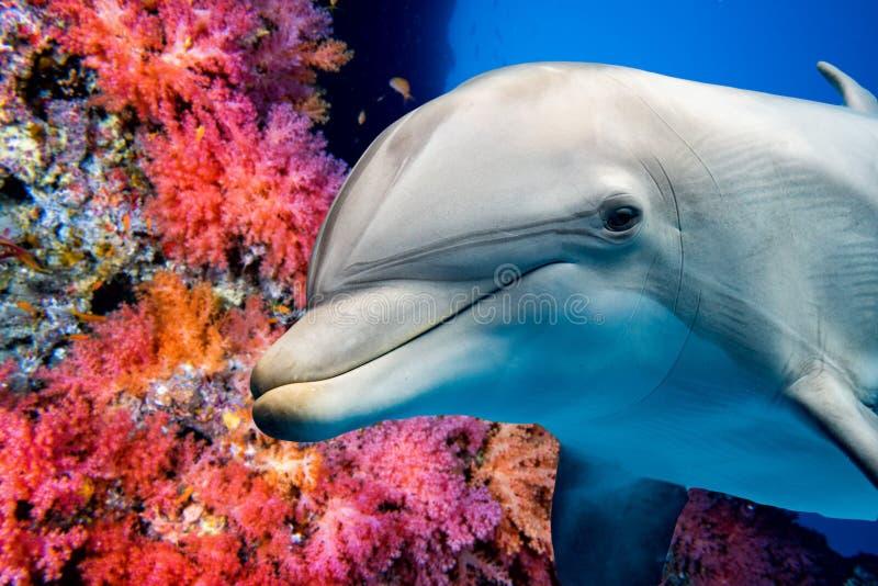 Delfin som är undervattens- på övre blick för revslut royaltyfri foto