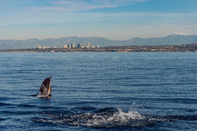 Delfin som bryter igenom av kust för orange län och Newport royaltyfria bilder