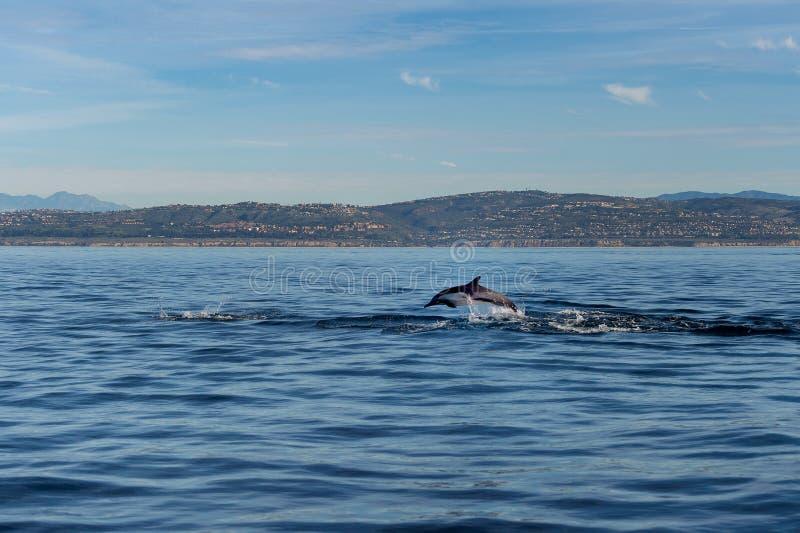 Delfin som bryter igenom av kust för orange län och Newport royaltyfri foto