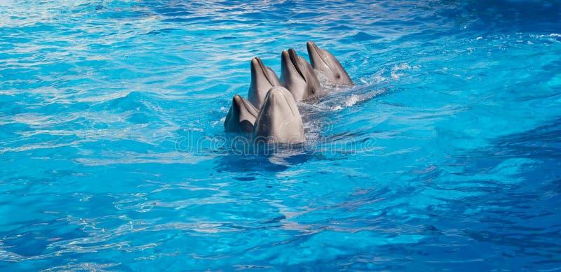 Delfin som dansar Lambada arkivfoto