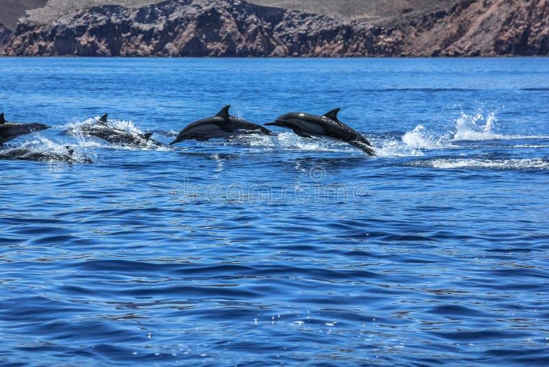 Delfin som hoppar Mexico royaltyfri bild