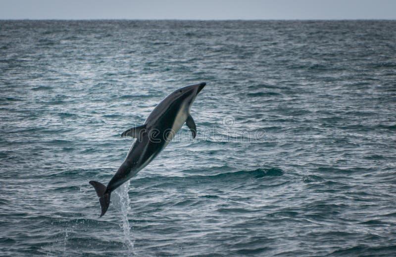 Delfin som hoppar ut ur vattnet på den Kaikoura valklockan, turnerar arkivfoton
