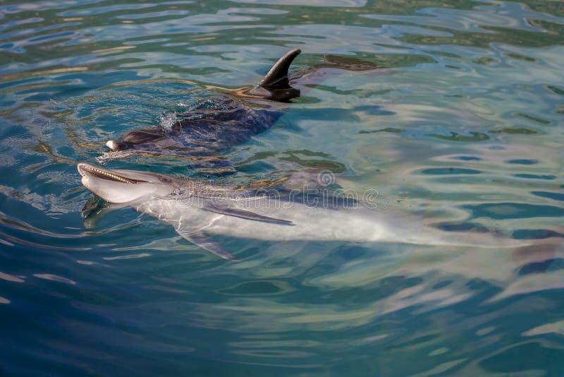 Delfin som spelar i havet royaltyfri fotografi