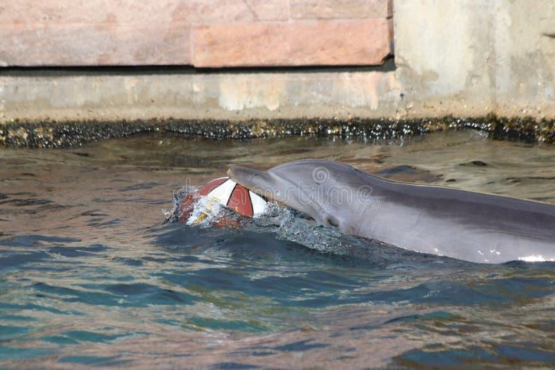 Delfin som spelar i zoo i Tyskland i nuremberg fotografering för bildbyråer