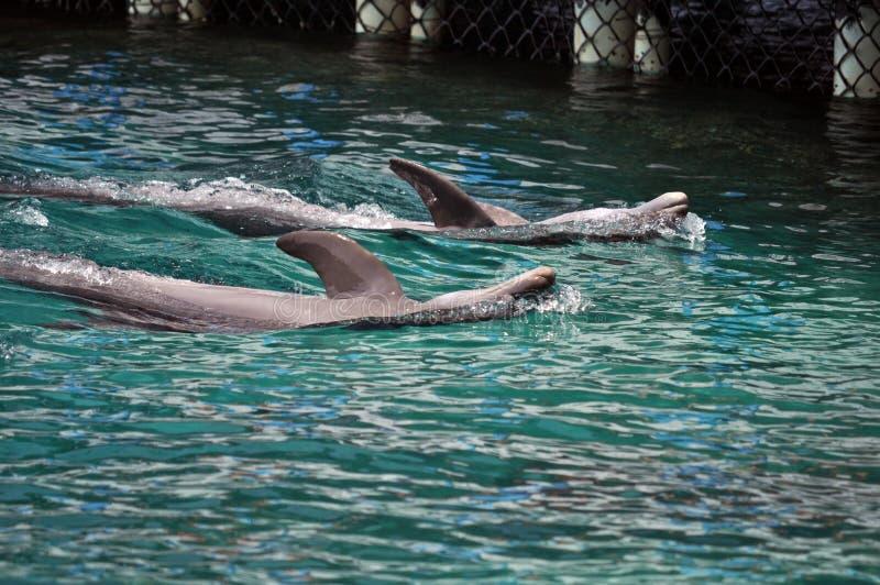 Delfin w Cartagena, Kolumbia, fotografia royalty free