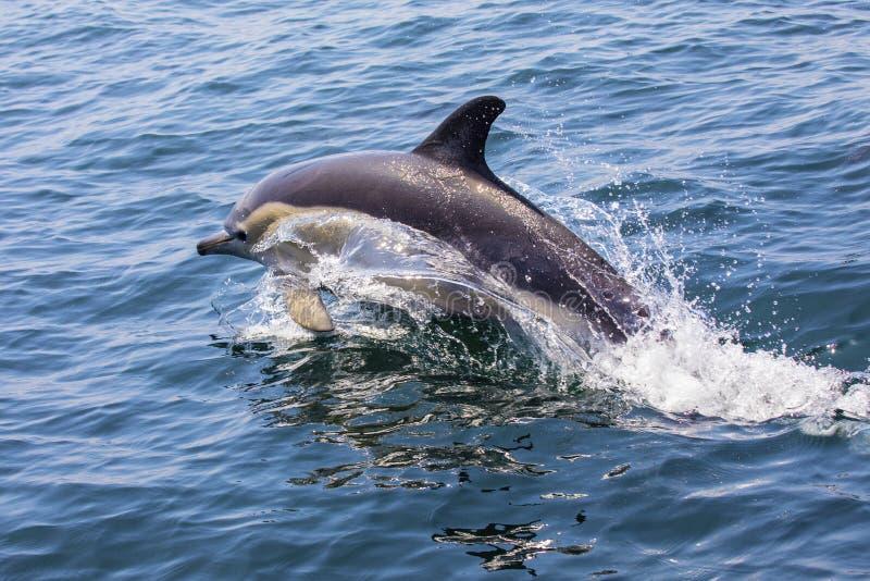 Delfin w Portugalia obraz royalty free