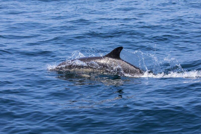 Delfin w Portugalia zdjęcia royalty free