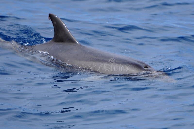Delfin w wodzie Atlantycki ocean obraz royalty free