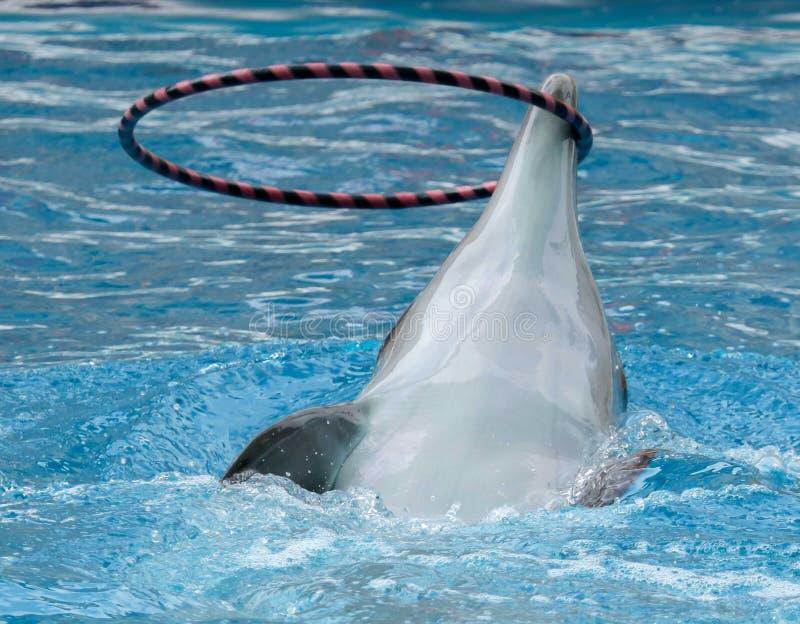 Delfin wiruje pier?cionek na g?owie zdjęcia royalty free