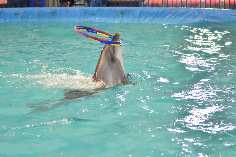Delfin z obręczem obraz stock