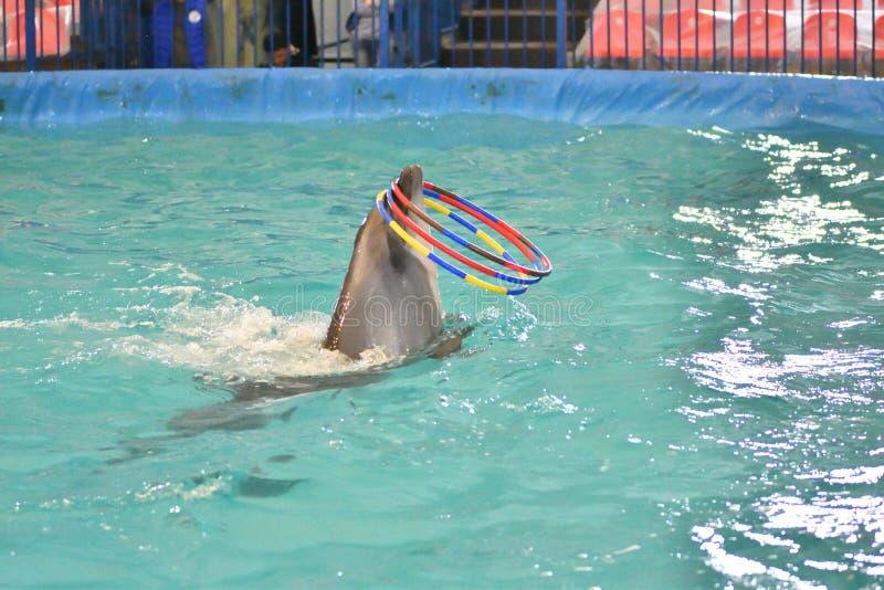 Delfin z obręczem obraz royalty free
