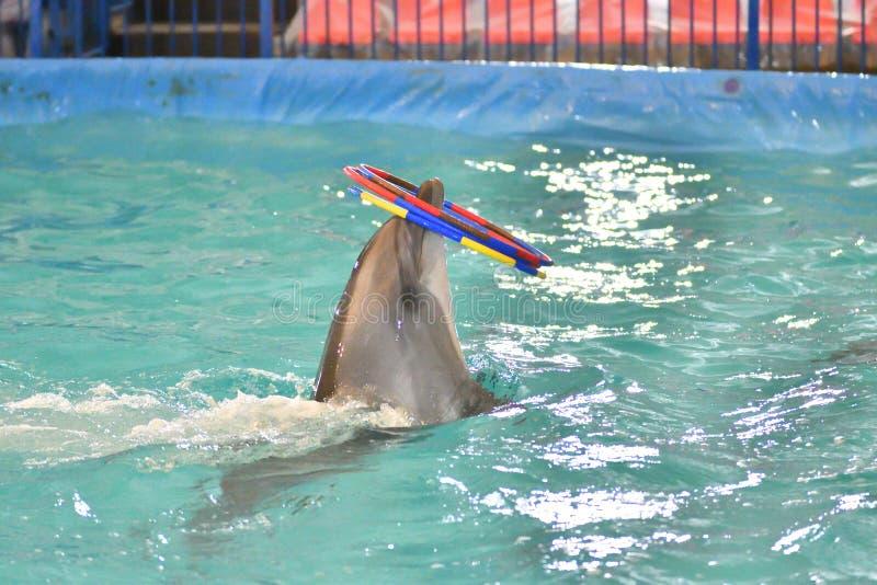 Delfin z obręczem obrazy stock