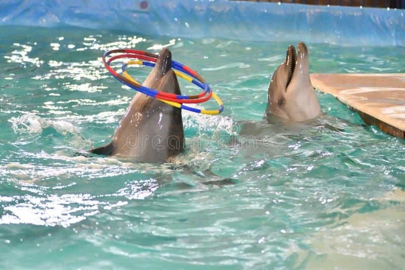 Delfin z obręczem zdjęcia stock