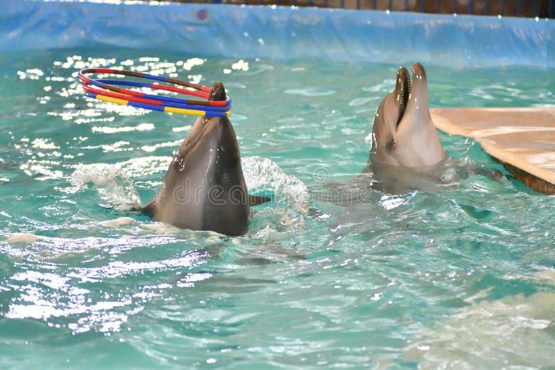 Delfin z obręczem zdjęcia royalty free