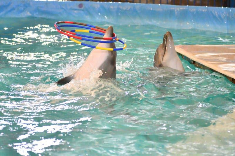 Delfin z obręczem fotografia royalty free