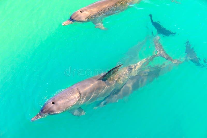 Delfinapa Mia arkivfoton