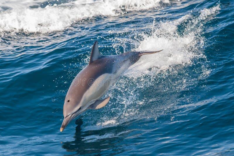 Delfinbanhoppning royaltyfria foton