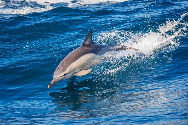 Delfinbanhoppning i havet royaltyfri bild