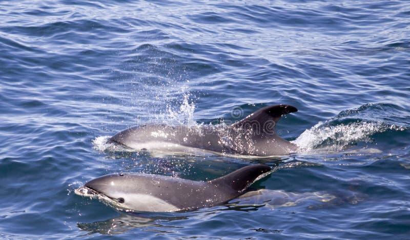 delfiner sid white royaltyfria foton