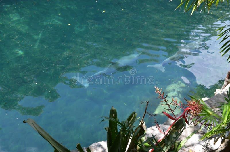 Delfines fotografie stock libere da diritti