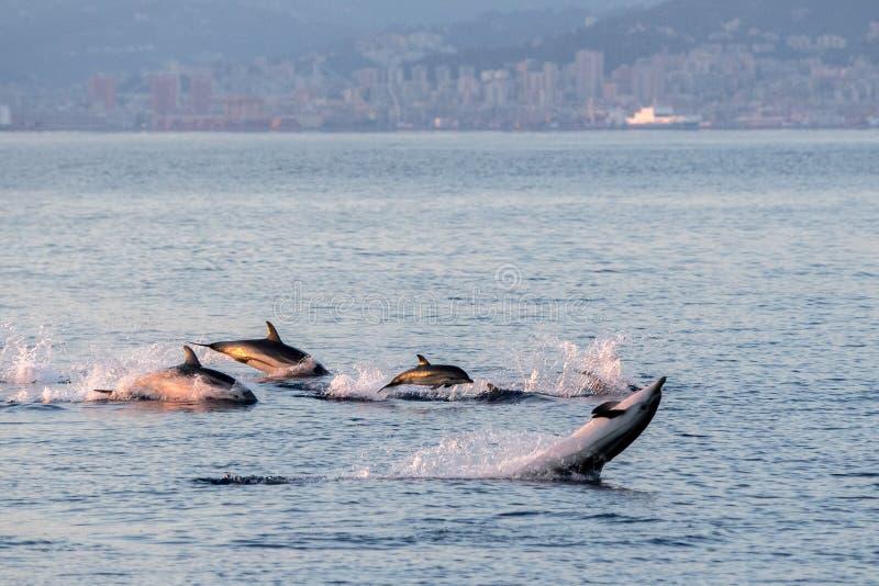 Delfinfamilj, medan hoppa i det djupblå havet arkivfoton