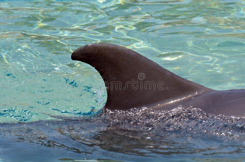 Delfinfena royaltyfria foton