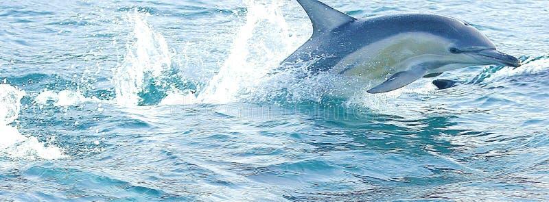 Delfinflyg till och med vatten arkivfoton