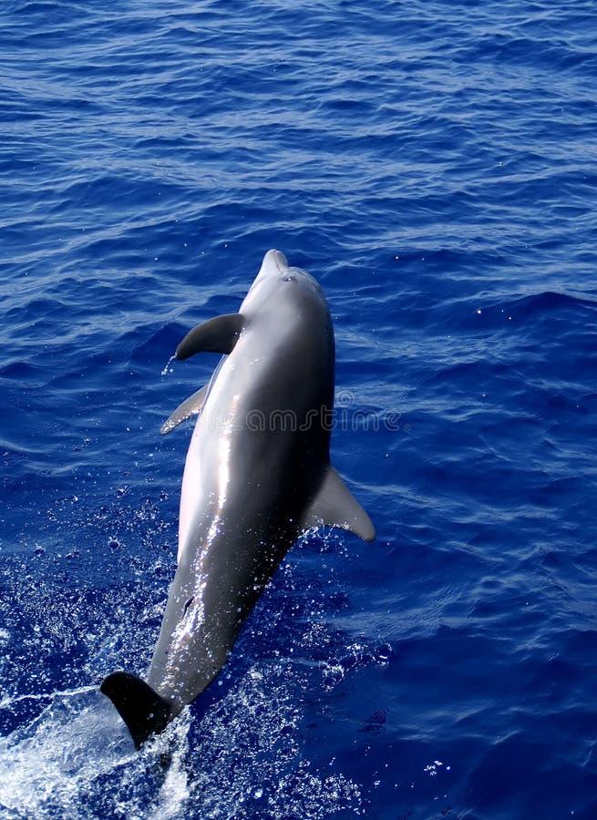 delfinhopp arkivbild