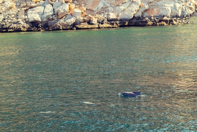 Delfini che giocano nell'acqua del golfo di Oman fotografia stock