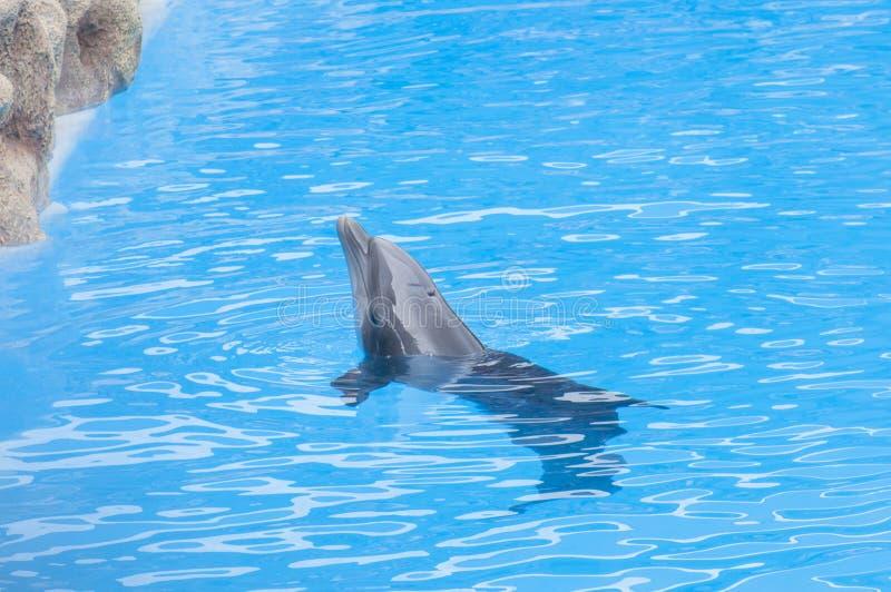 Delfini che nuotano fotografia stock libera da diritti