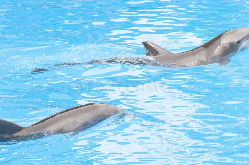 Delfini che nuotano immagini stock