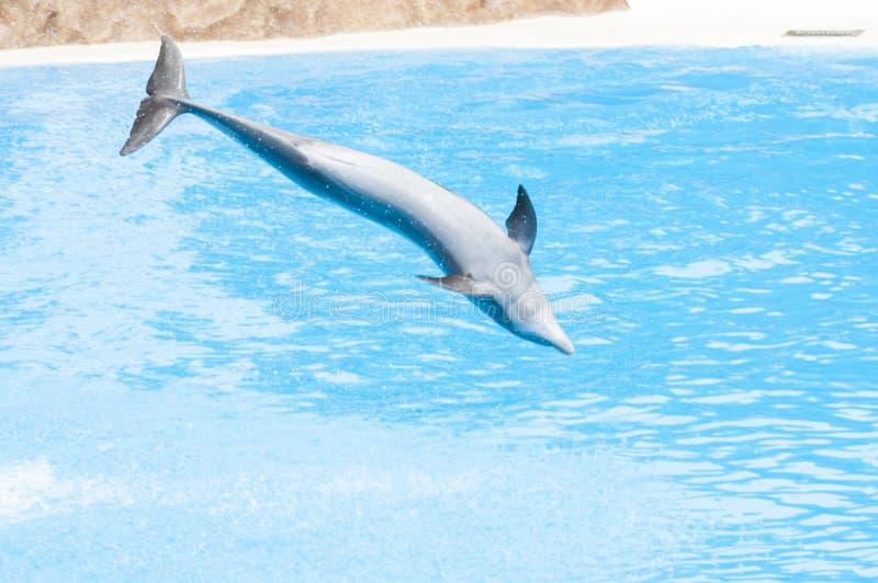 Delfini che nuotano immagini stock libere da diritti