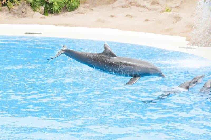 Delfini che nuotano fotografia stock