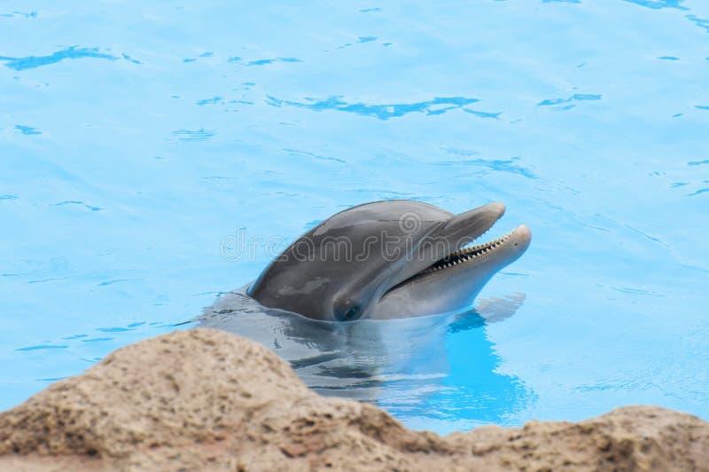 Delfini che nuotano immagine stock
