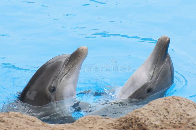 Delfini che nuotano fotografie stock