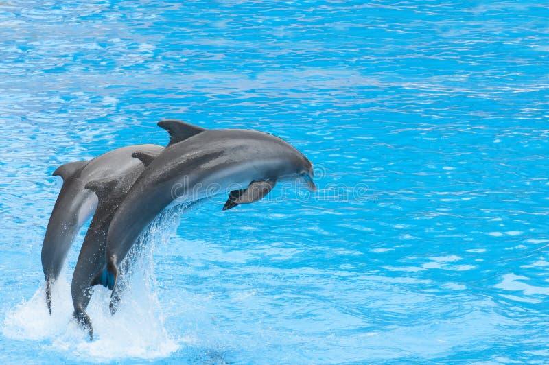 Delfini che nuotano immagine stock libera da diritti