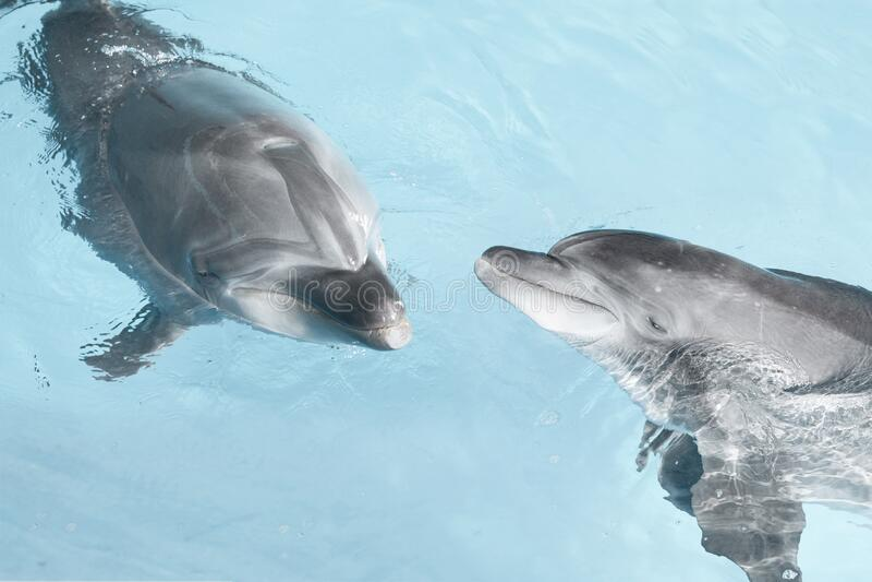 Delfini che nuotano nell'acqua di cristallo blu immagini stock