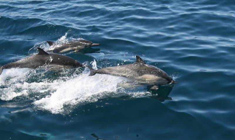 Delfini che nuotano nell'oceano fotografia stock