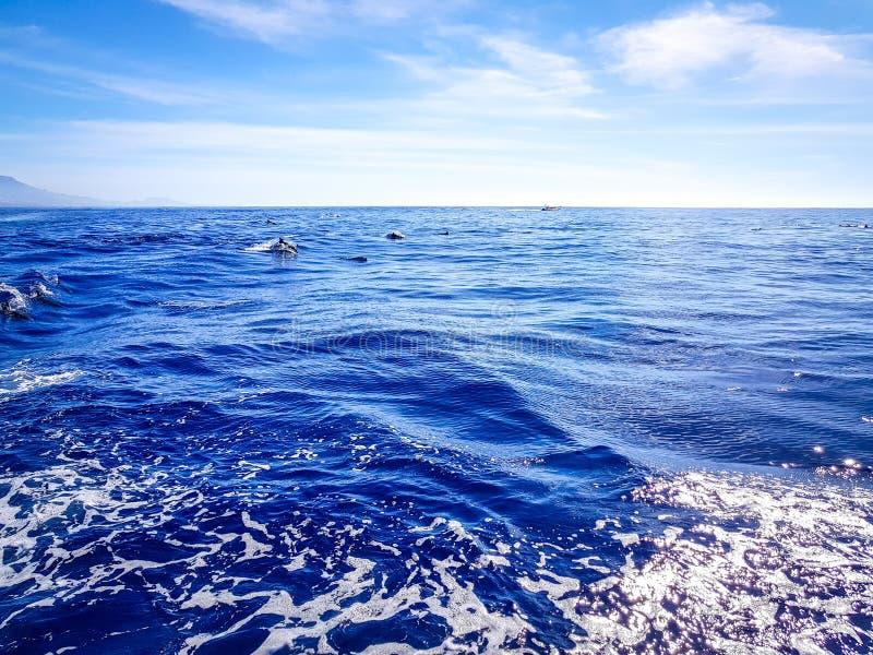 Delfini che nuotano nell'Oceano Atlantico davanti a Los Gigantes, isole Canarie, Tenerife fotografia stock