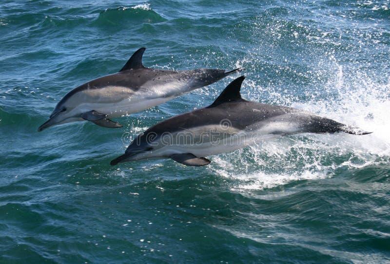 Delfini comuni fotografia stock libera da diritti